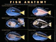 Poster anatomy of the fish