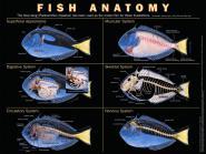 Poster anatomie du poisson