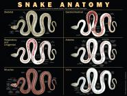 Poster anatomy of the snake